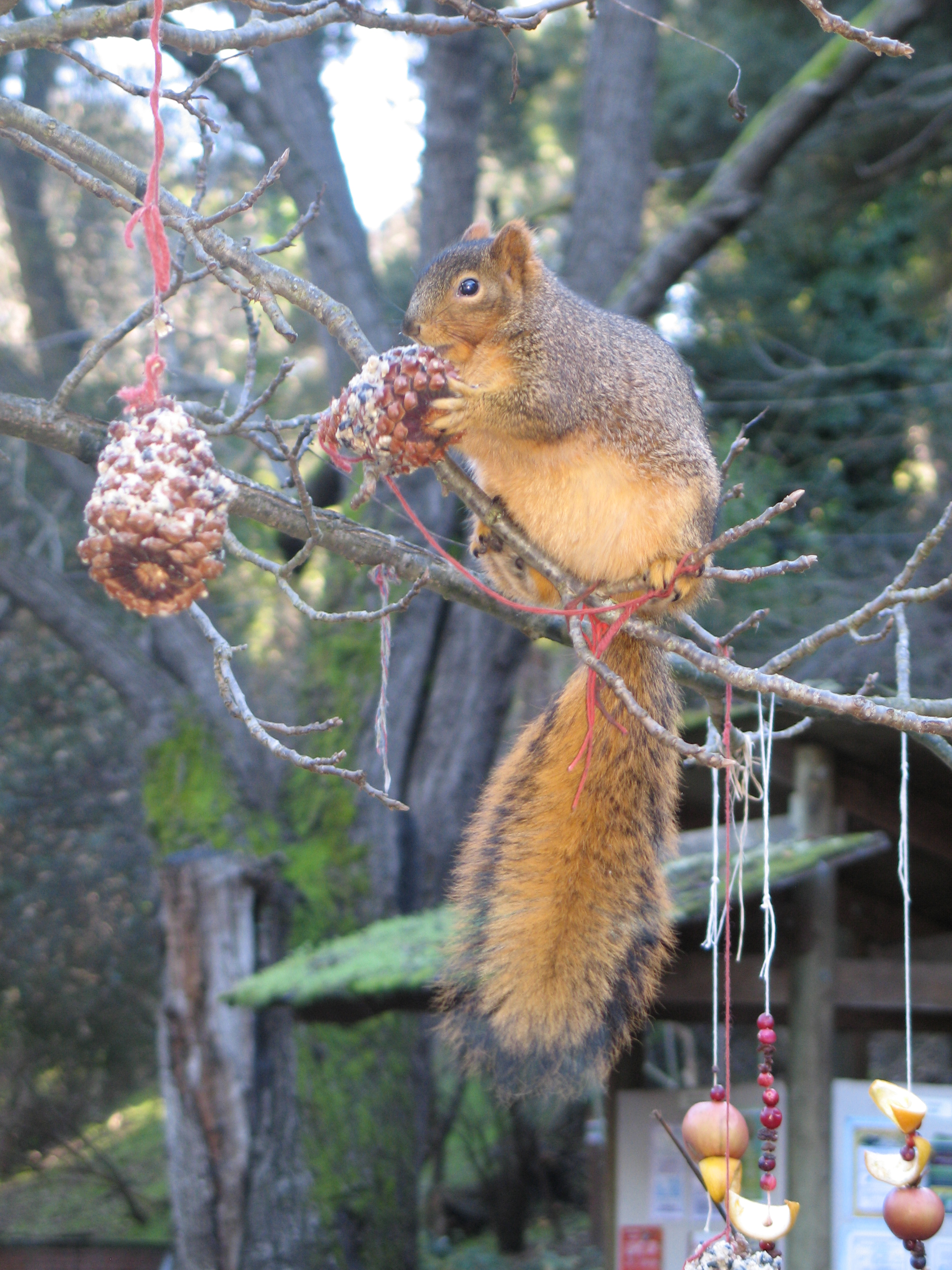 Squirrel on a branch eating a suet covered pine cone