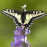 Swallowtail butterfly on a plant