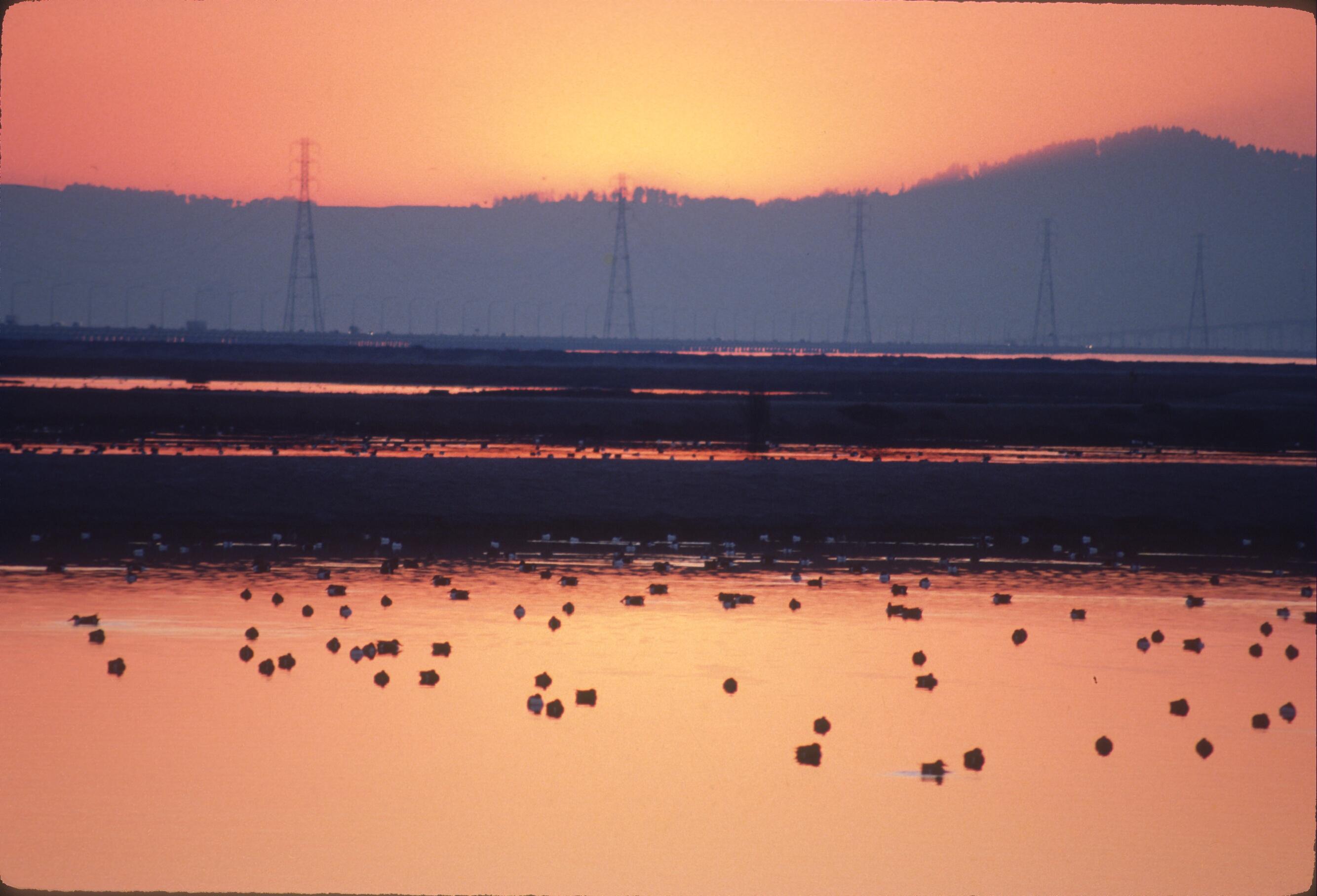 Ducks in salt ponds