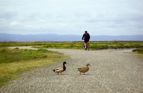 ducks and cyclist on trail