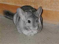 Dustin the Chinchilla