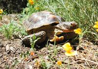 Desert Tortoise in the Poppies