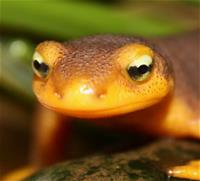 California Newt Close up