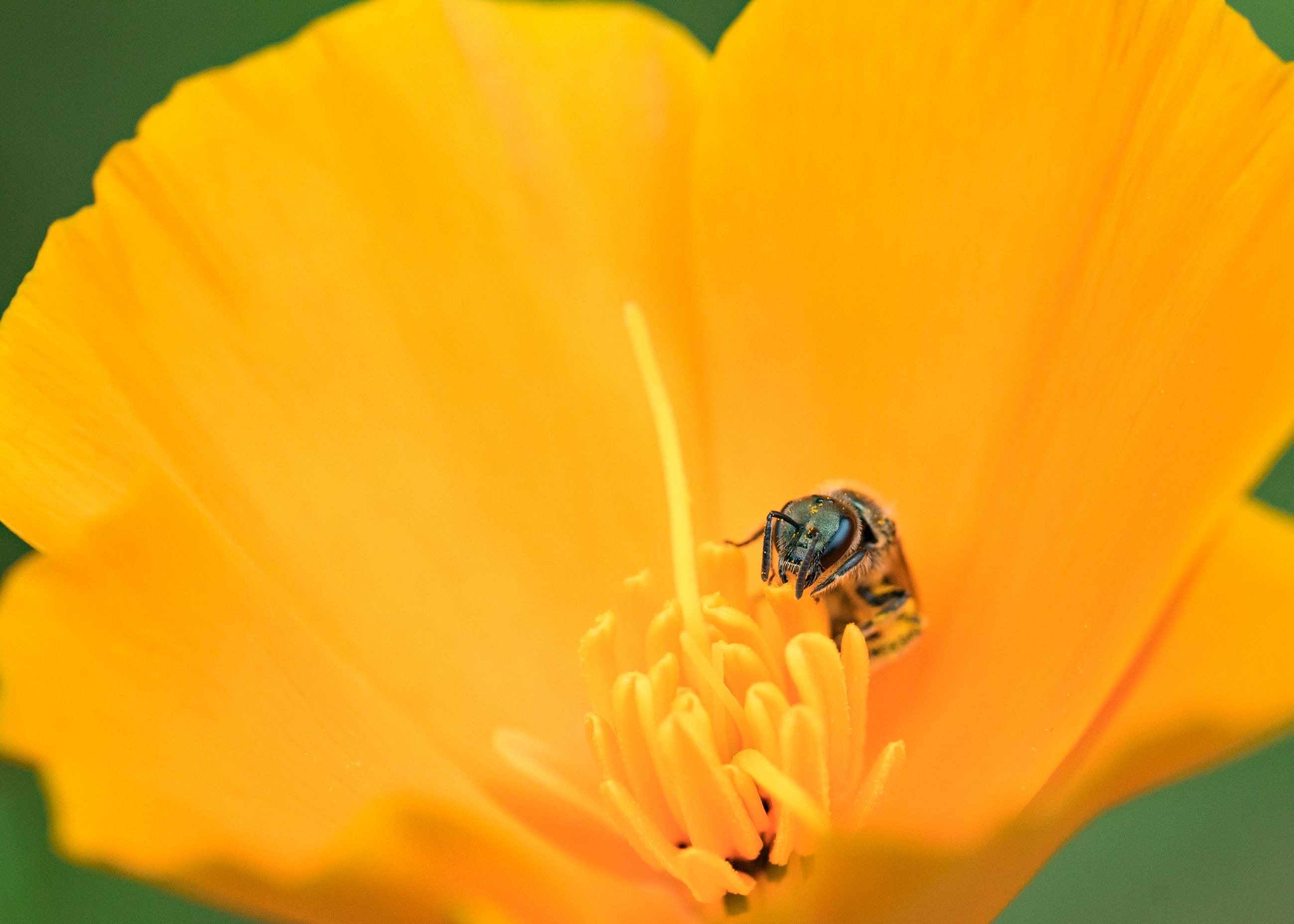 Bee in California Poppy
