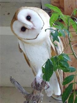 Inquisitive Barn Owl tilting his head to look at you